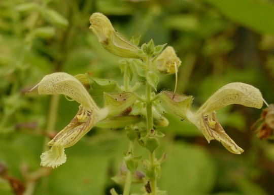 Salvia glutinosa (Salvia glutinosa (Jupiters Distaff))