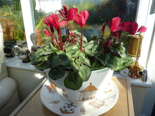 birthday cup, that cheers! (Cyclamen persicum)