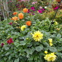 bedding dahlias