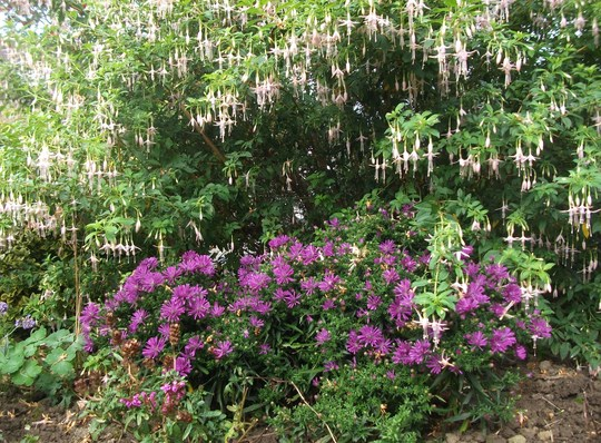 Fuchsia Magellanica Alba Ladies Eardrops I love the waterfall effect of this it has flowered non stop all summer and I think the Aster Crown sits well beneath it. (Fuchsia Magellanica Alba)