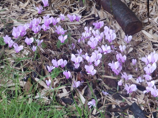 Autumn flowering Cyclamen