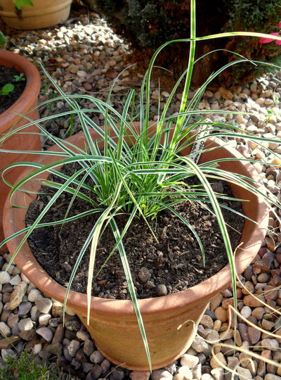 Carex oshimensis 'Everest White' (Carex oshimensis 'Everest White')