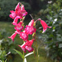Penstemon_pensham_amelia_jane