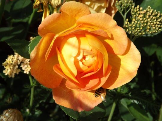 Rose 'Lady Of Shallot'
