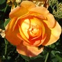 Rose 'Lady Of Shallot'