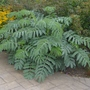 Melianthus_major_2013