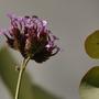 After the rain. (Verbena bonariensis (Verbena))