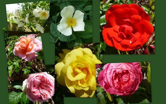 byeways  roses
