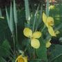 Stylophorum lasiocarpum (Stylophorum lasiocarpum)