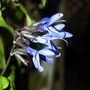 love this blue salvia