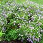 Aster bush