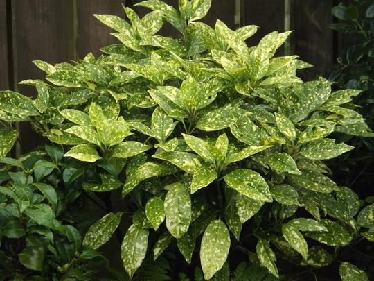 Aucuba japonica (Aucuba japonica 'Crotonifolia')