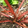 Phormium Pink Panther (Phormium purpurea)