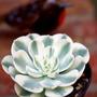 """Echeveria glauca """"Compton Carousel"""" (Crassulaceae)"""