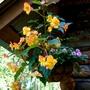 Hanging Begonias 2