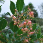 Arbutus Unedo Rubra....... (Arbutus Unedo Rubra.Pink flowers instead of usual white.)