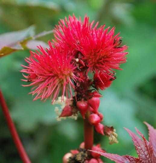 Ricinus..... (Ricinus communis (Castor oil plant))