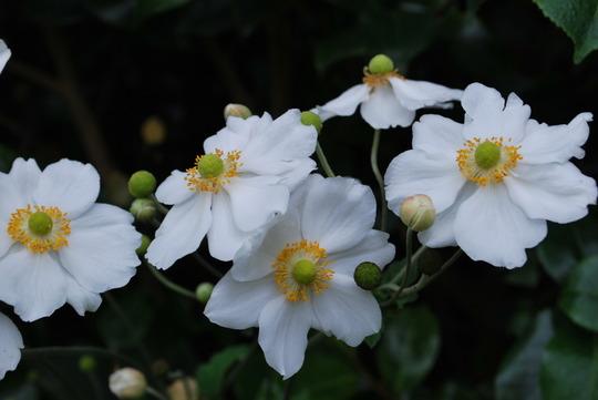 Japanese Anemones....... (Anemone hupehensis (Japanese anemone))