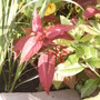 Persicaria_red_dragon