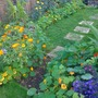 Rudbeckia,nasturiums,aster,stepping stone path