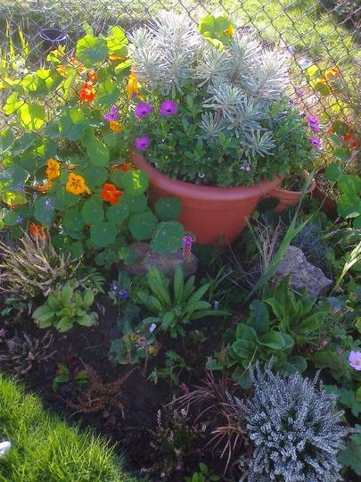 Euphorbia and osteospermum in tub,heather,primrose nastursium border