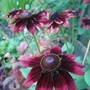 Rudbeckia 'Cherry Brandy' (Rudbeckia hirta)