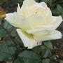 Mini Kordana roses still blooming