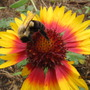 busy bee and his indian blanket.....