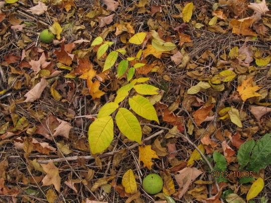 small walnut tree