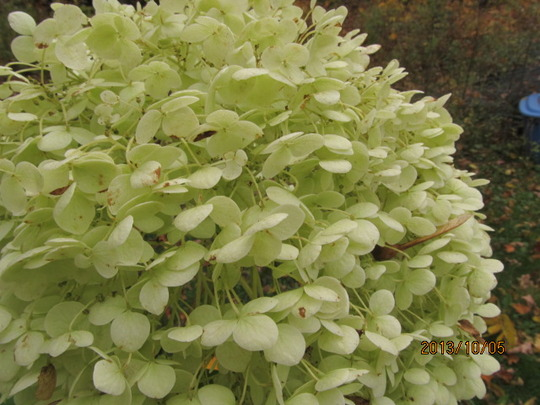Puffy tufts of the hydrangea