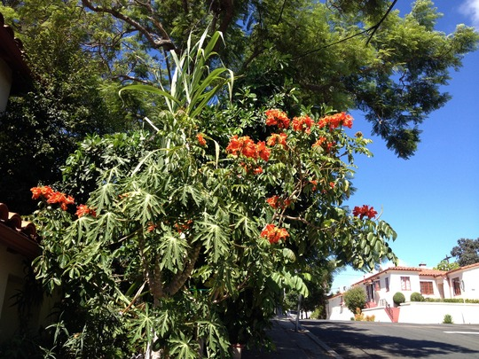 Large Jacaranda Tree; Papaya; African Tulip Blooming (Jacaranda Tree; Papaya; African Tulip)