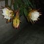 Hylocereus undatus - Dragon Fruit Cactus Flowers (Hylocereus undatus - Dragon Fruit)