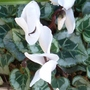 5.10.13_hint_of_pink_cyclamen_2