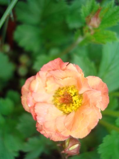 Geum - peachy colour (Geum)