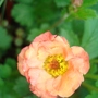 Geum - peachy colour (Geum)