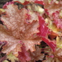 Heuchera 'Ginger Peach' (Heuchera)