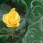 Sun Sprite Rose