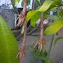 Epiphyllum oxypetalum -  Queen of the Night (Epiphyllum oxypetalum -  Queen of the Night)