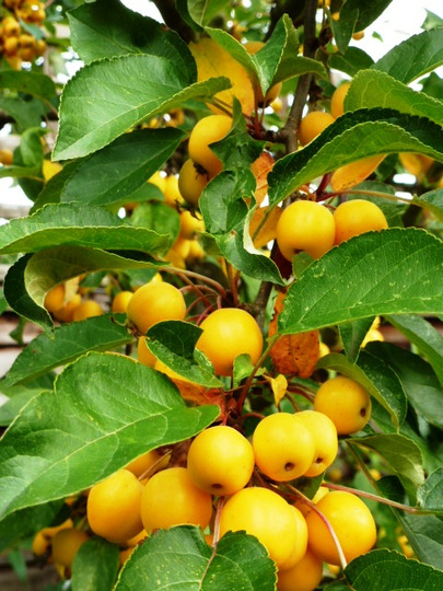 Malus     Golden Hornet  (Malus  ' Profusion ')