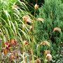 Miscanthus_nepalensis_..1