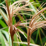 Miscanthus_nepalensis_seed_head