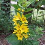 Yellow Loosestrife (lysimachia punctate)