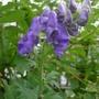 Aconitum carmichaelii 'Arendsii' - 2013 (Aconitum carmichaelii)