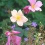 Rosa odorata 'Mutabilis' (Rosa odorata Mutabilis)