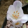 Colchicum Byzantinum Innocence ( this is the correct name)