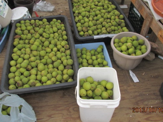 First of the Walnut harvest