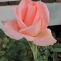 Last of the Kordana mini roses