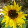 Sunflower and Ladybirds