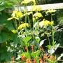 Rudbekia 'Herbstonne'
