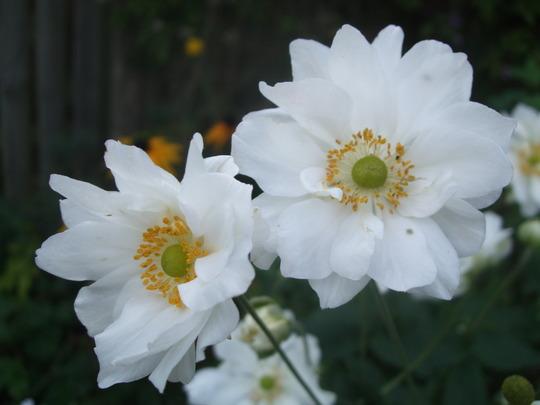 Anemone 'Whirlwind' (Anemone x hybrida (Japanese anemone))